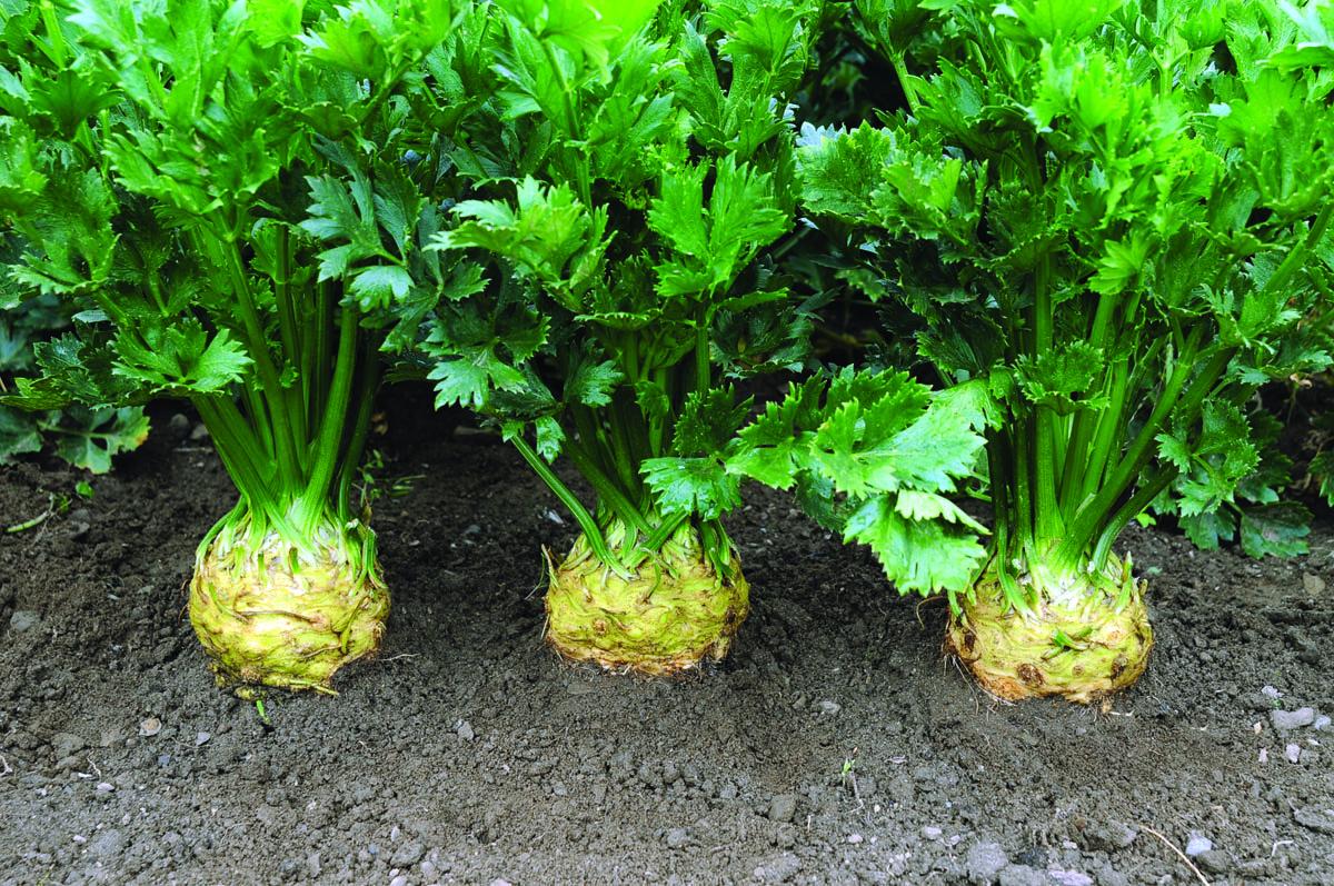 Brilliant Celeriac CA