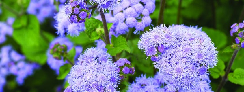Timeless Mix Ageratum