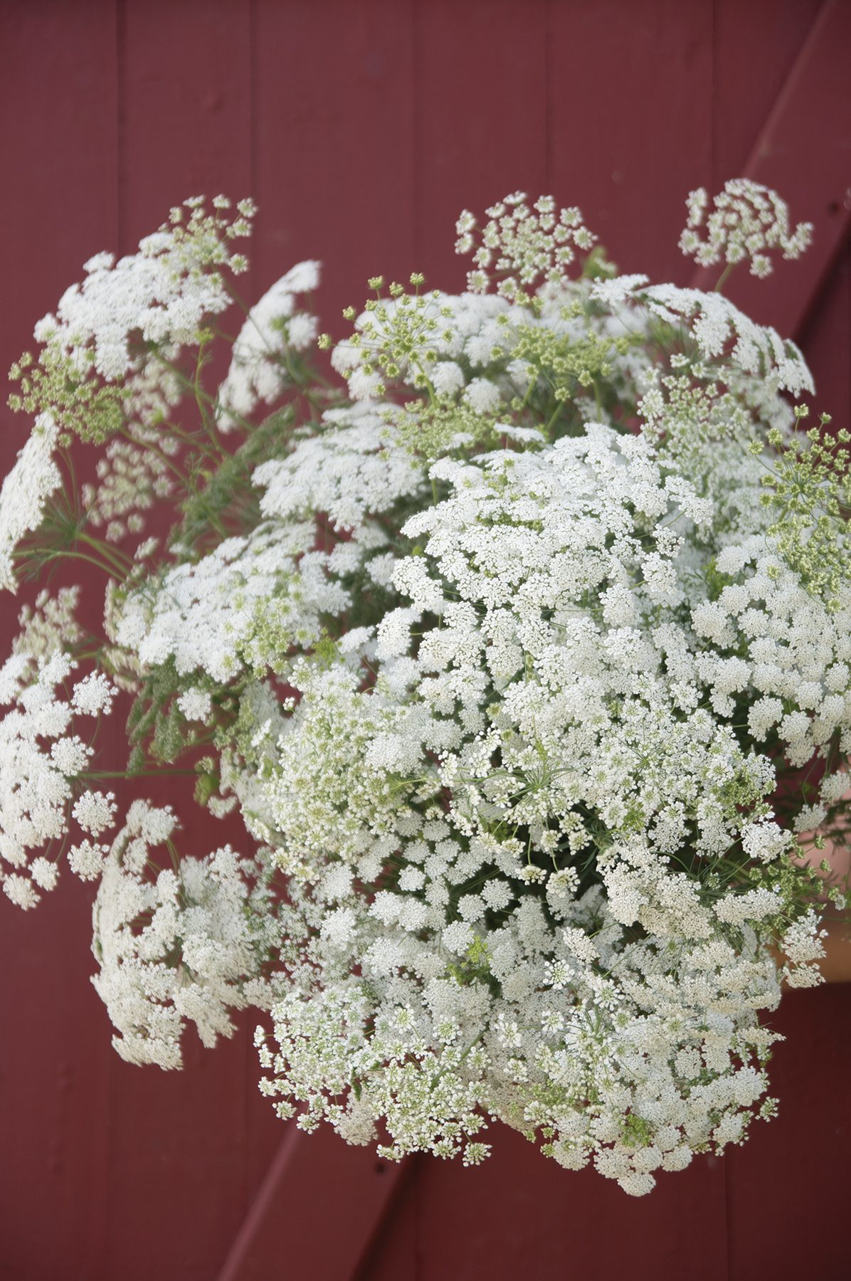 White Dill False Queen Anne's Lace Ammi