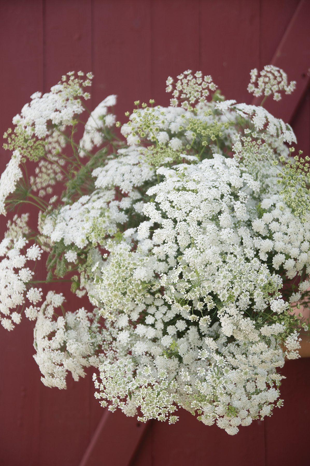 White Dill False Queen Anne's Lace Ammi