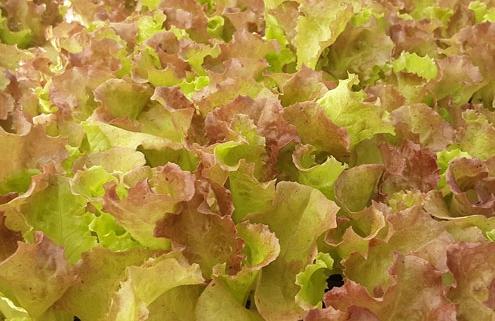 Vegetables | Banner Greenhouses