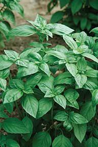 Aroma Basil