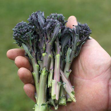 Santee Broccoli CA