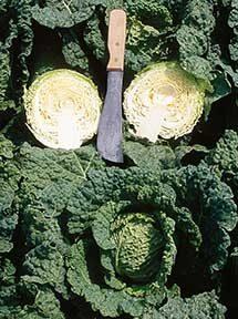 Alcosa Cabbage