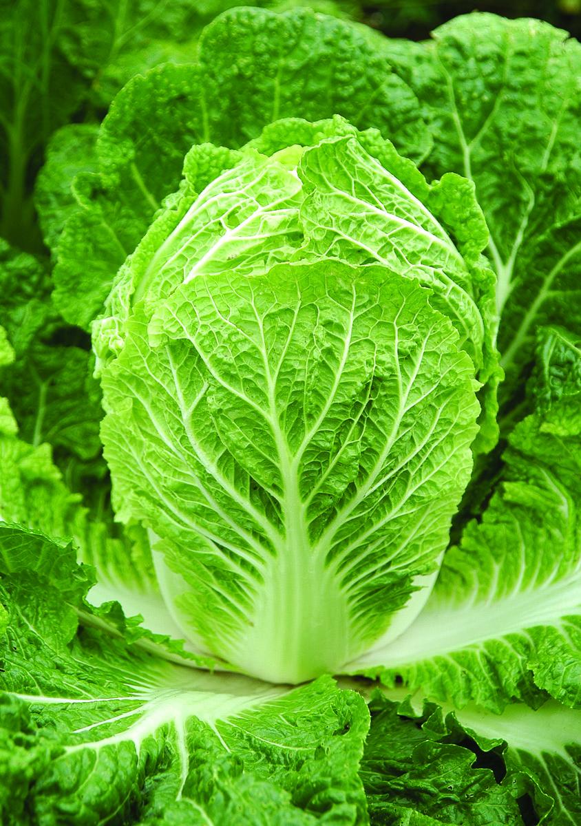 Bilko Cabbage