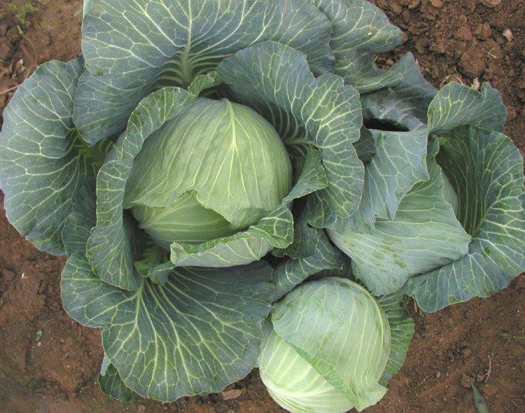Bronco Cabbage
