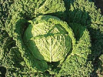 Famosa Cabbage