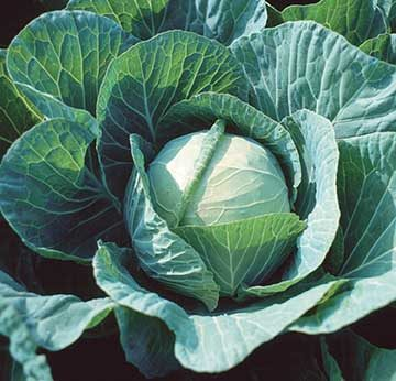 Farao Cabbage