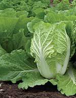Rubicon Cabbage