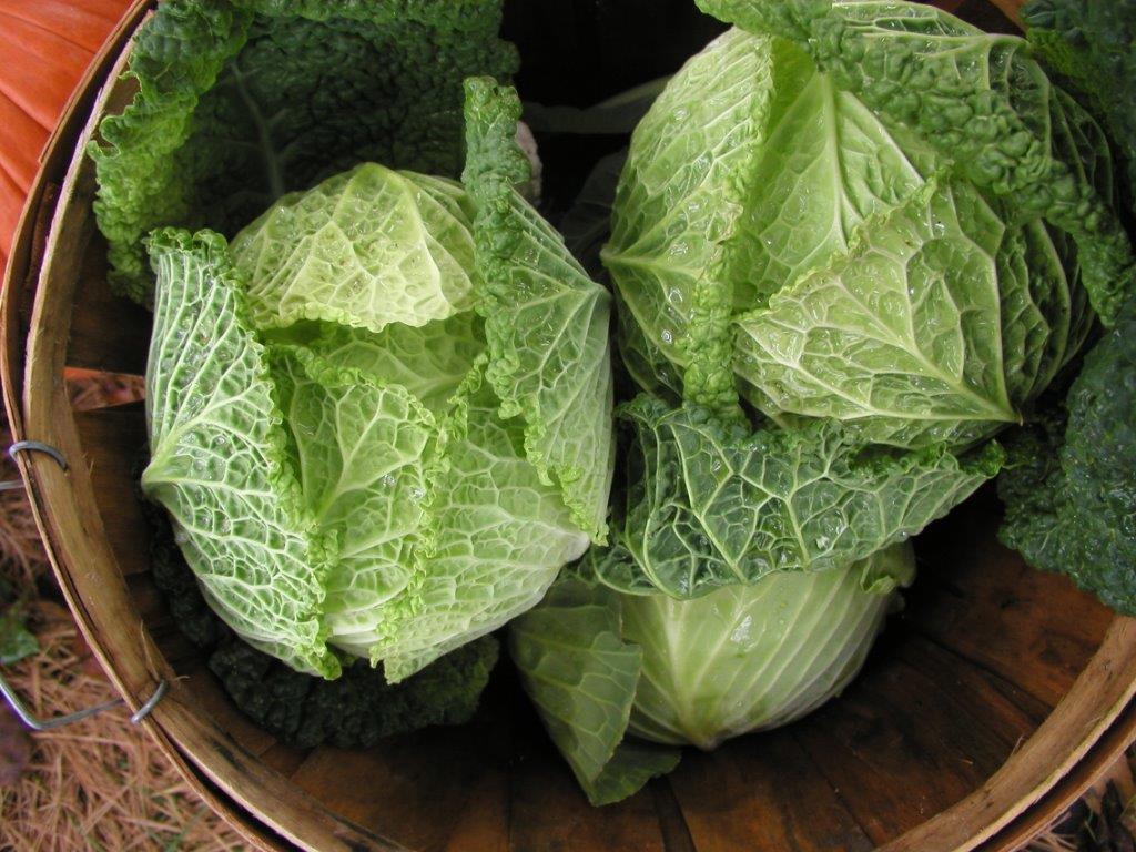 Savoy King Cabbage