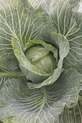 Storage #4 Cabbage