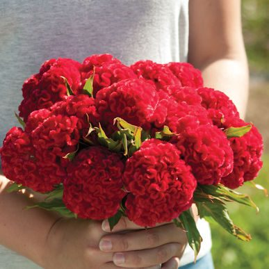 Chief Fire Celosia