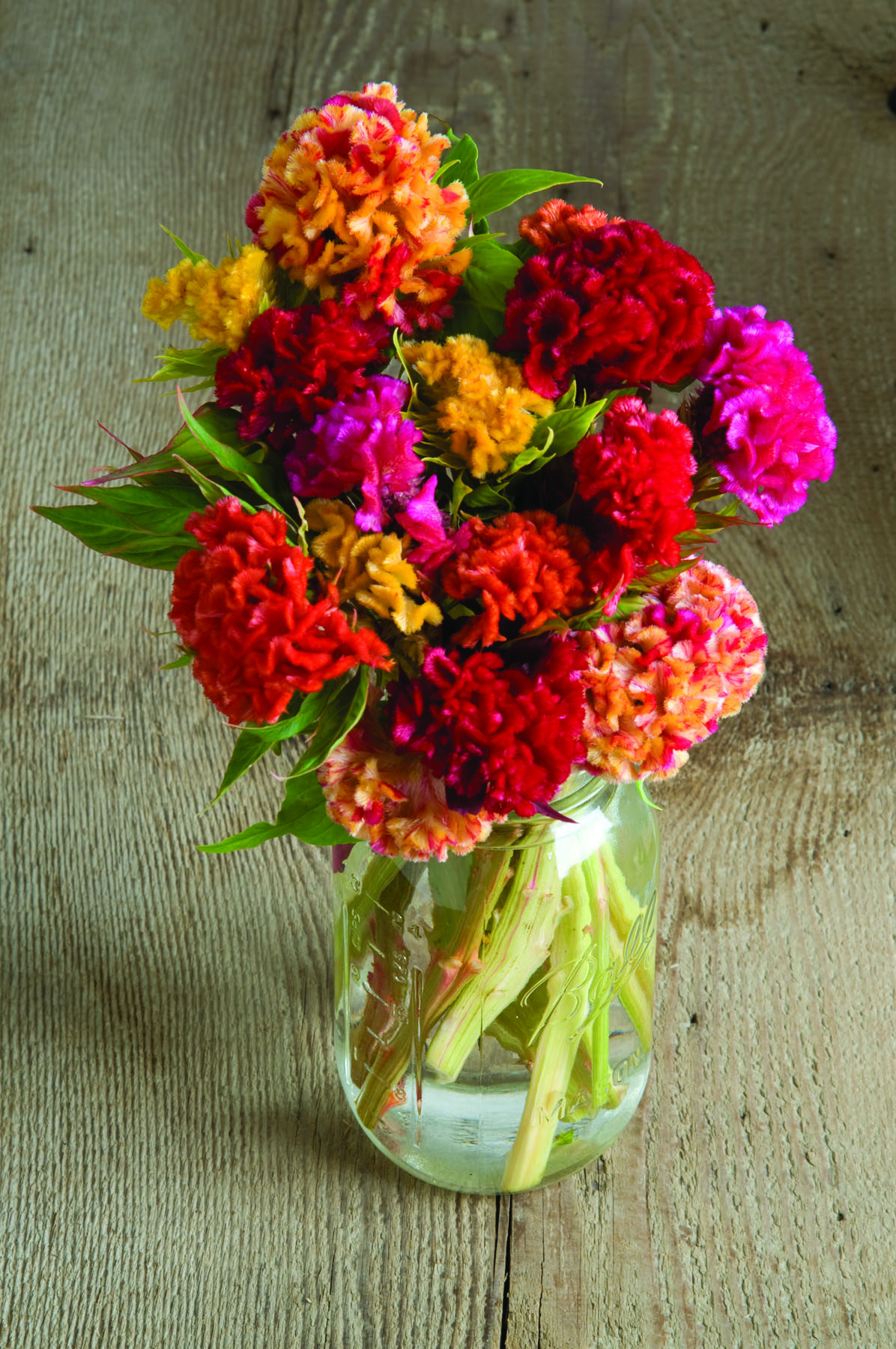 Chief Mix Celosia
