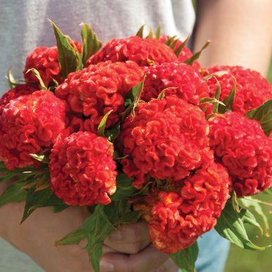 Chief Persimmon Celosia