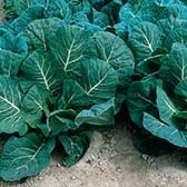 Flash Collards