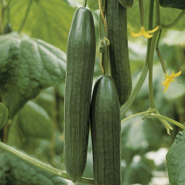 Kalunga Cucumbers