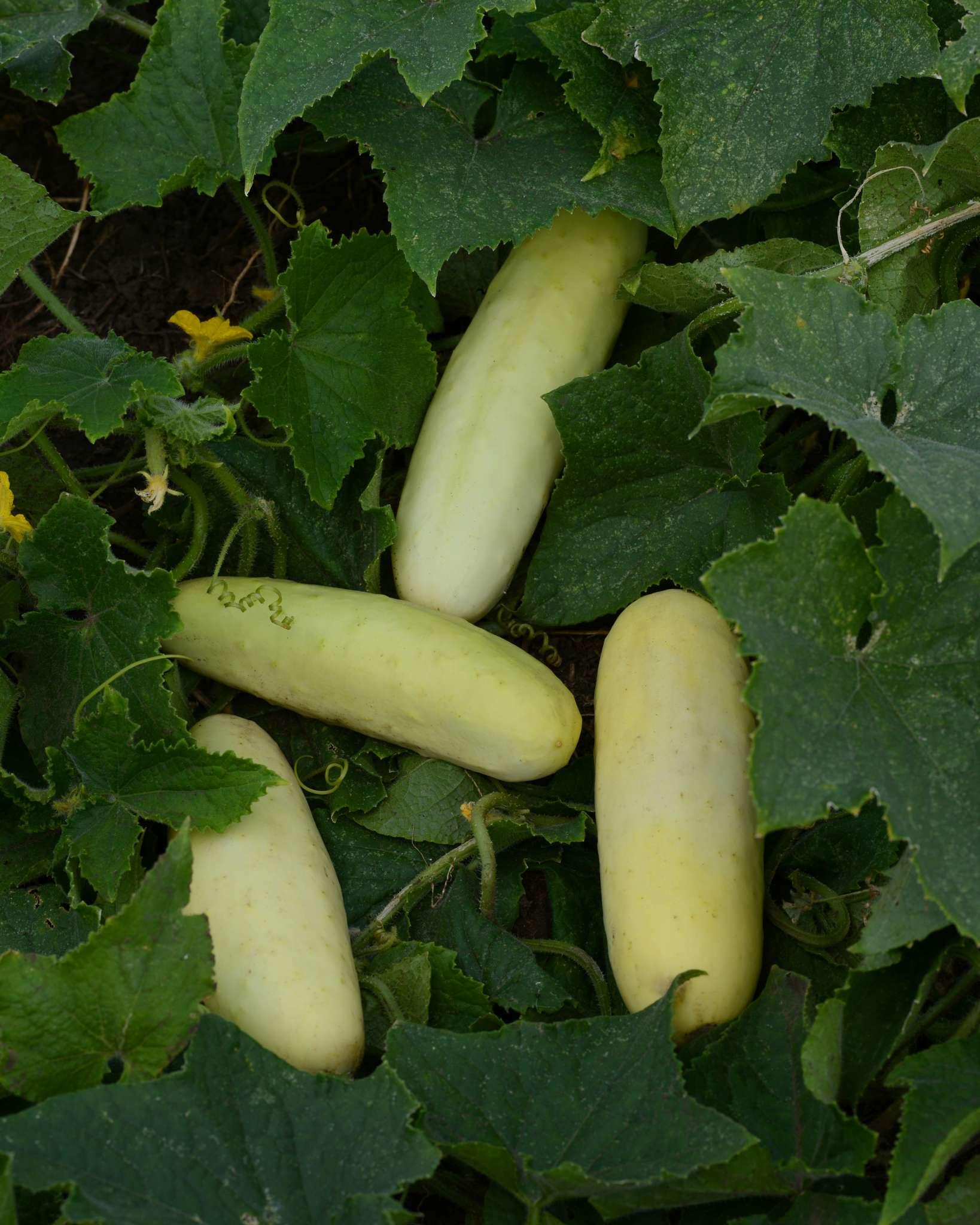 Martini Cucumbers