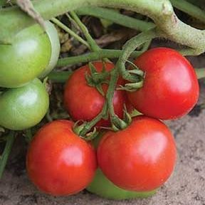 Defiant Grafted Tomato