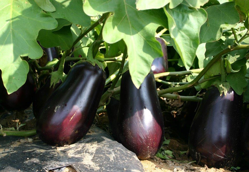 Santana Eggplant