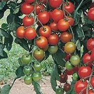 Favorita Grafted Tomato