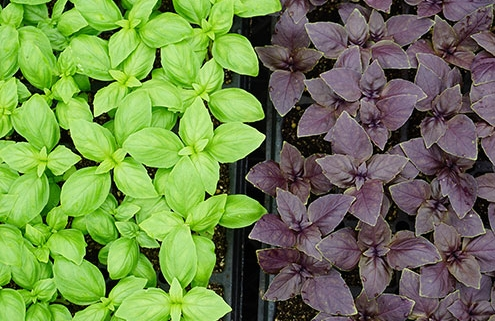 Herbs | Banner Greenhouses