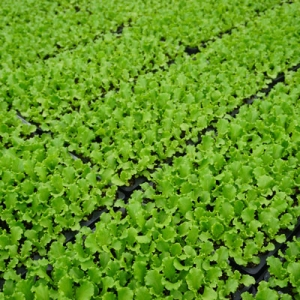 Banner Greenhouses   How to Grow With Us