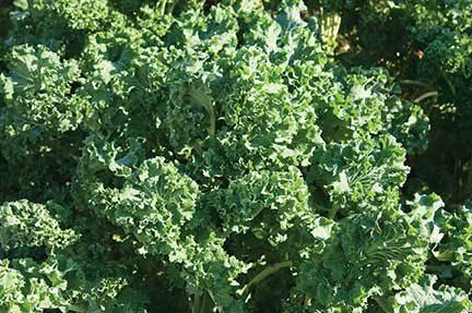 Siberian Kale CA
