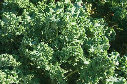 Early Siberian Kale CA