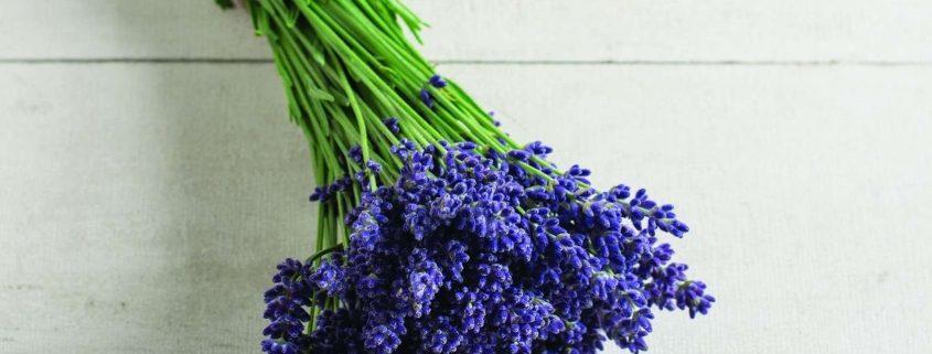 Elegance Purple Lavender