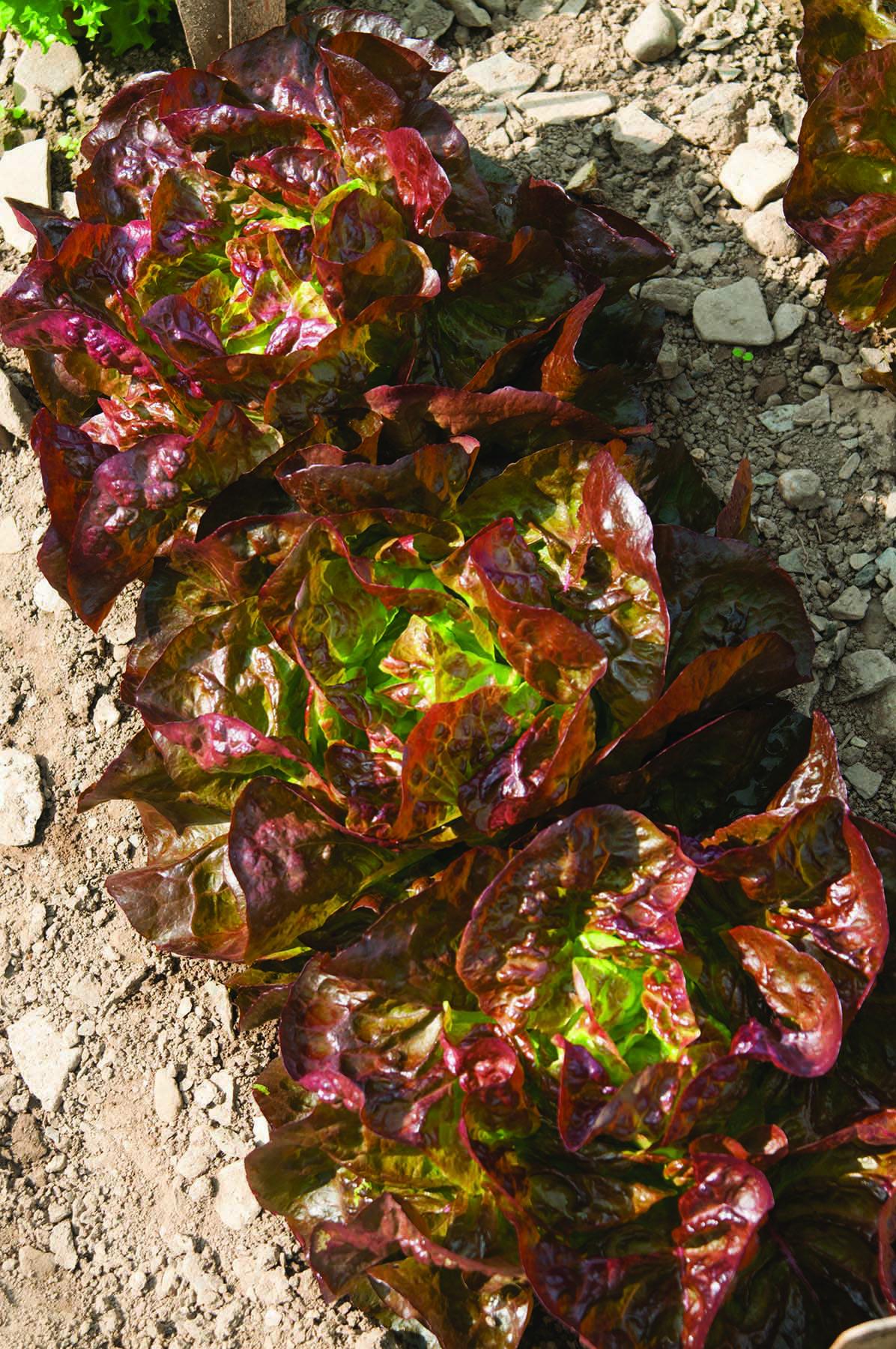 Alkindus Lettuce
