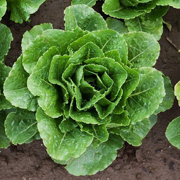 Arroyo Lettuce