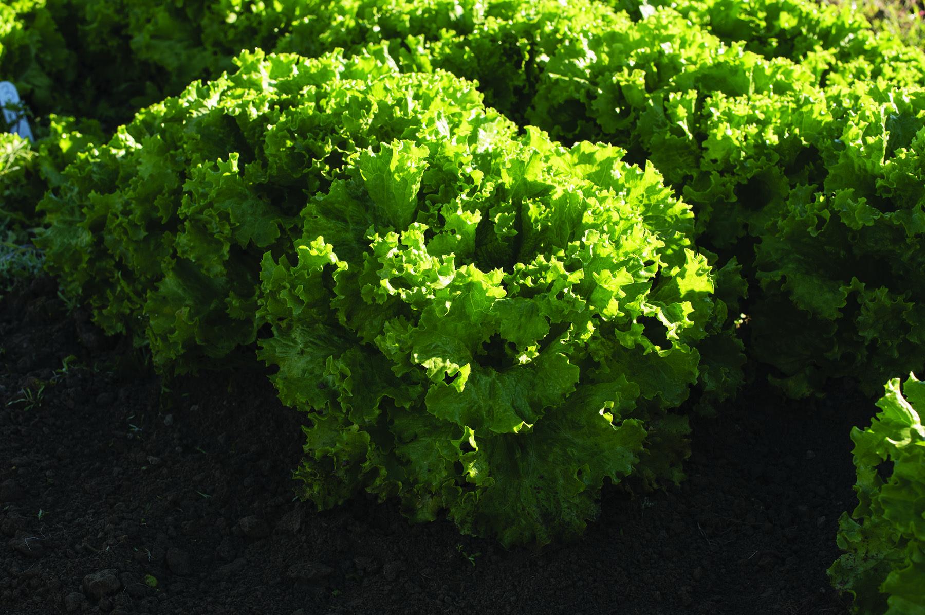 Bergam's Green Lettuce
