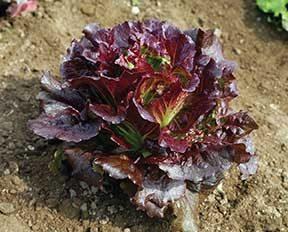Cherokee Lettuce