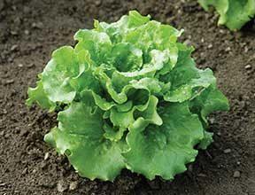 Concept Lettuce