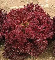 Dark Lolla Rossa Lettuce