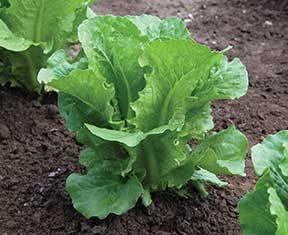 Green Forest Lettuce