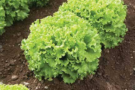 Muir Lettuce