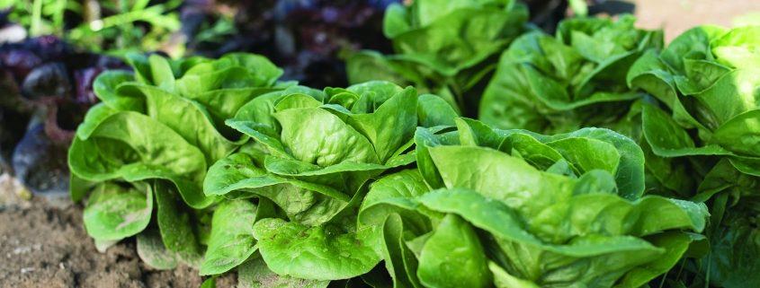 Newham Lettuce