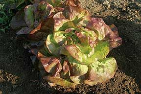 Red Cross Lettuce