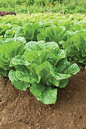 Salvius Lettuce