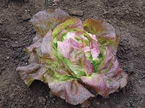 Skyphos Red Lettuce