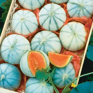 Savor Melon CA