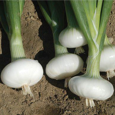 Bianca di Maggio Onion