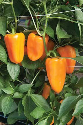 Aura Pepper