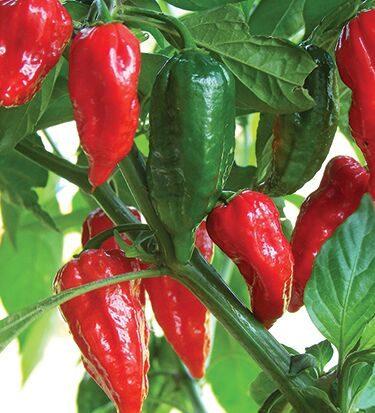 Bhut Jolokia Pepper CA