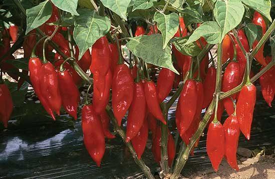 Hot Paper Lantern Pepper