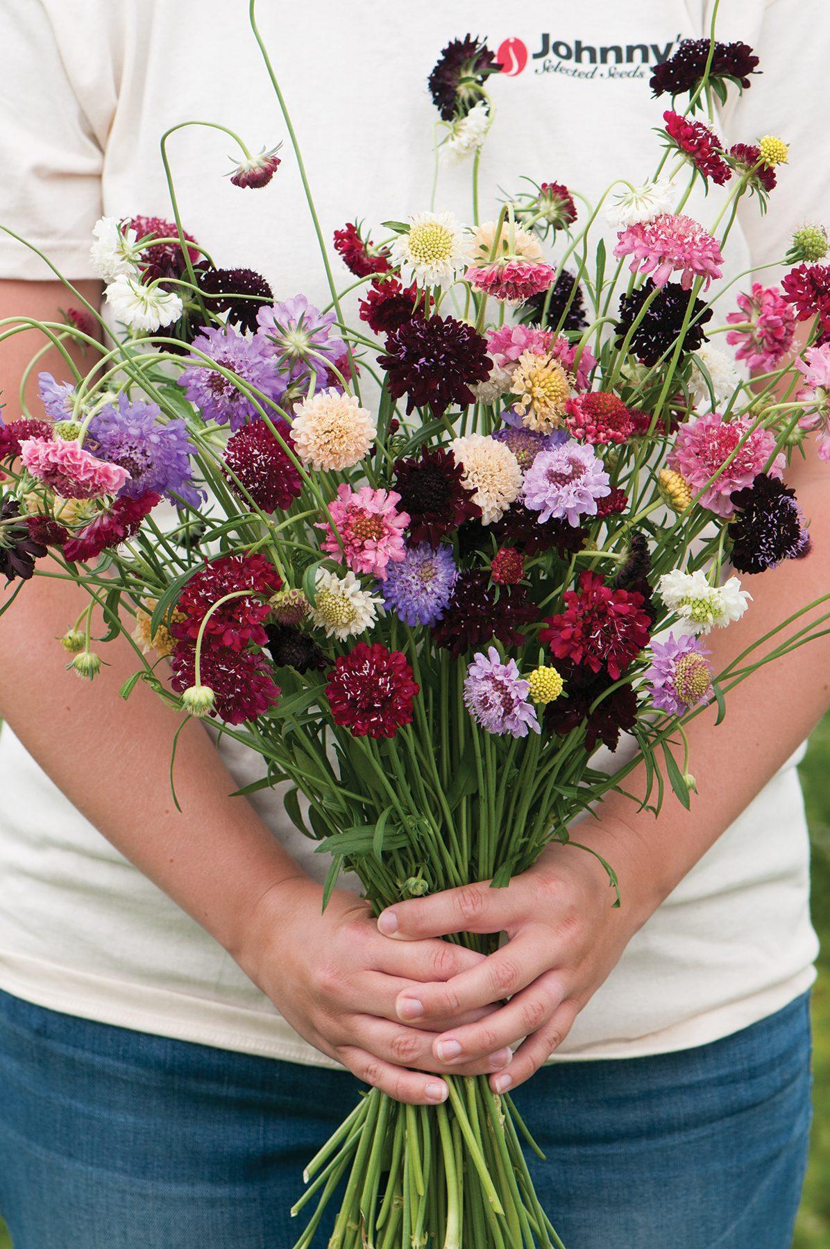 Pincushion Flower Mix Scabiosa