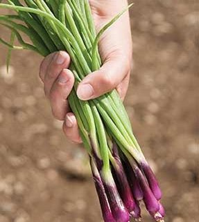 Deep Purple Scallion
