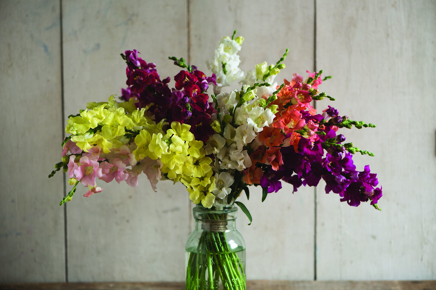 Chantilly Mix Snapdragon