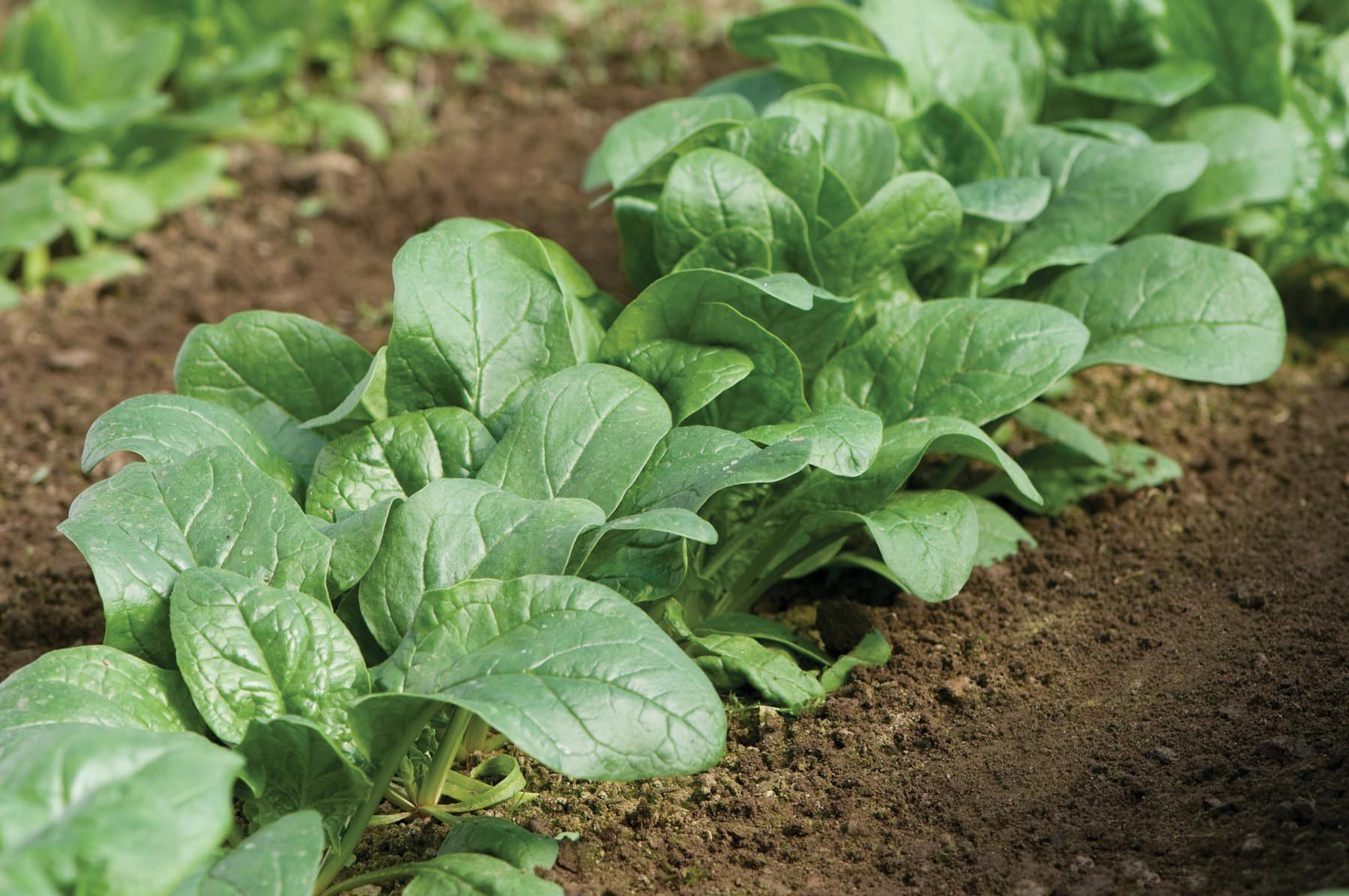 Carmel Spinach